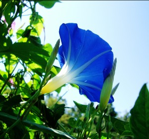 Heavenly blue morning glory flower with the sun shining through it.