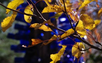 Brilliant yellow crabapple leaves are shining in the sunlight with a cobalt blue bottle tree showing in the background.