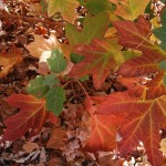 Oakleaf Hydrangea leaves in the fall with colors of green, yellow, and red.